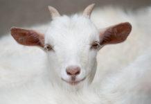 Козоводство — приоритетное направление животноводческой отрасли Крыма