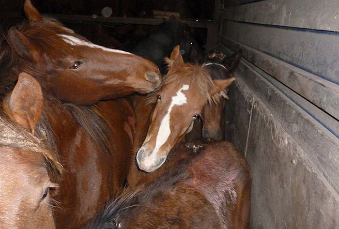 Крупная партия лошадей задержана и возвращена к месту отгрузки
