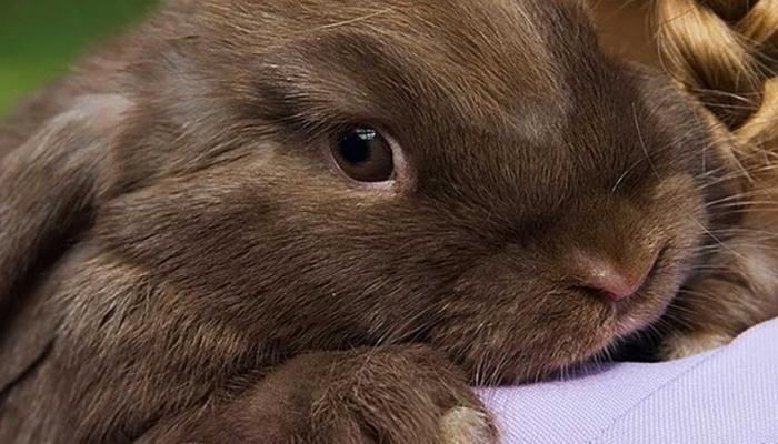 Лечение инфекционного стоматита у кроликов