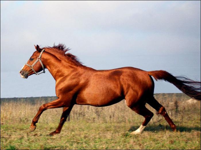 Лошадь — выбор породы и ее биологические особенности