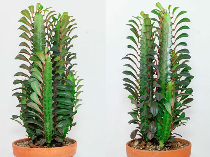 Молочай треугольный либо трехгранный (Euphorbia trigona)