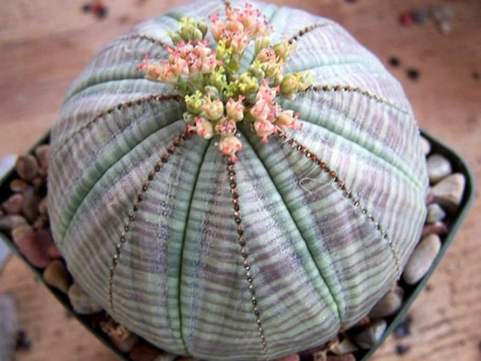 Молочай тучный(Euphorbia obesa)