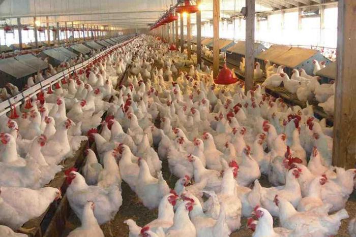 На ростовских птицефабриках проведут внеплановые проверки