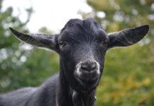 Незаразные болезни коз