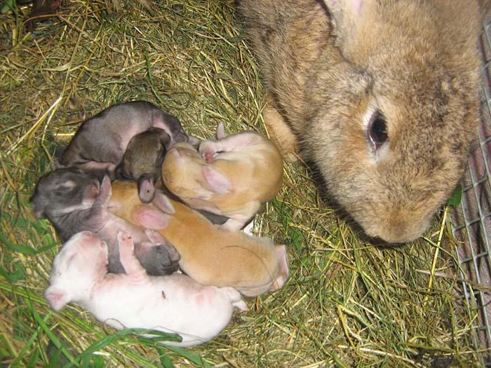Окрол и выращивание крольчат
