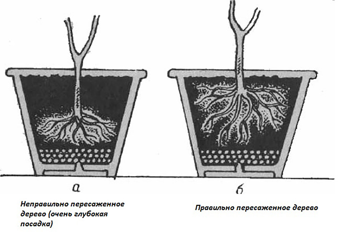 Особенности пересадки комнатного лимона