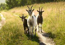 Особенности пищеварения у коз