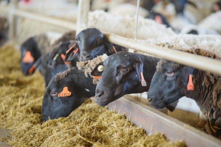 Овцеводческий комплекс «Мираторга» осуществил поставку первой партии ягнятины в 3 970 кг на переработку в январе 2019 года.