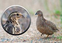 Перепела - представители семейства фазановых