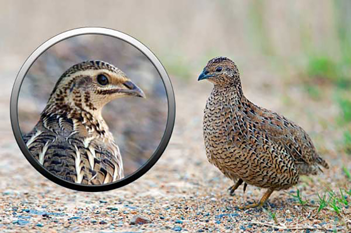 Перепела — представители семейства фазановых
