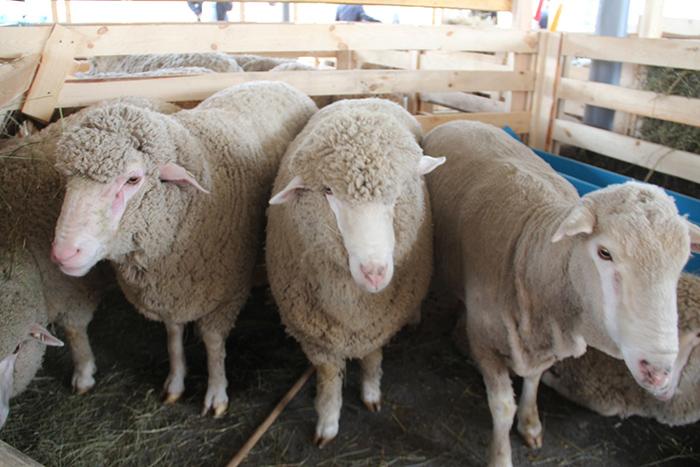 Племенная работа в овцеводстве