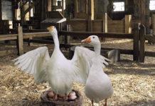 Получение гусиных яиц, пригодных к инкубированию