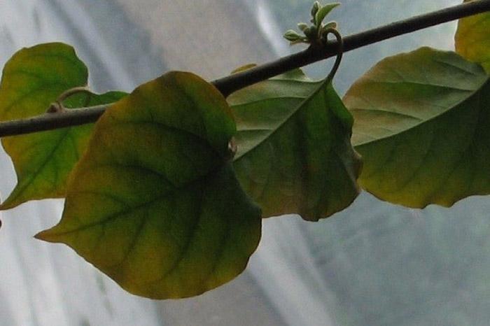 Пожелтение и облетание листвы