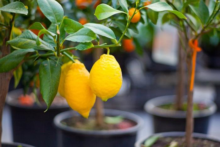 Правила выращивания плодов лимона