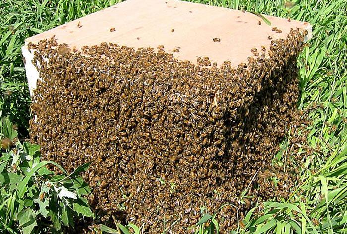 Предупреждение роения пчелиных семей