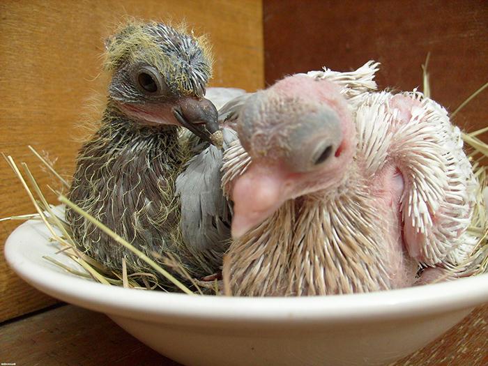 Птенцы голубей