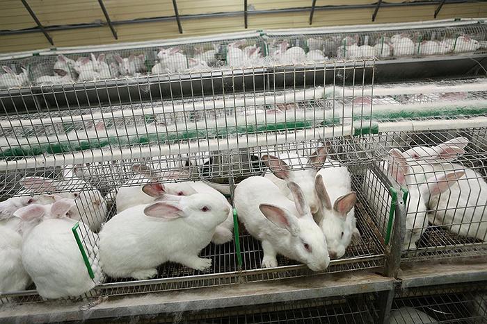 Разведение кроликов с целью получения мяса