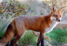 Растительные корма в рационе лисицы