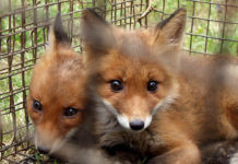 Разведение лисиц. Племенная работа