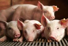 Россия запретила ввозить свинину из Японии