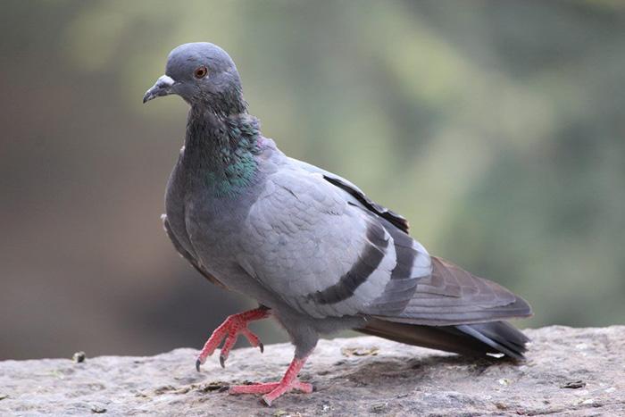 Сальмонеллез голубей