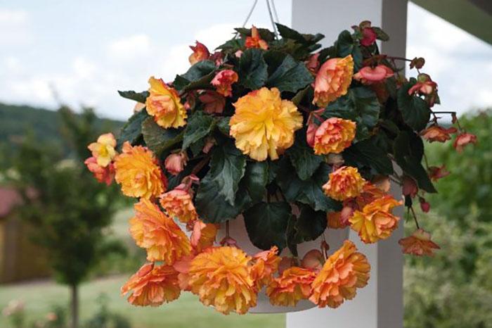 Самые популярные гибридные сорта декоративно-цветущих бегоний