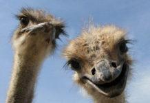 В современном страусоводстве существуют три основные системы разведения страусов: интенсивная, полуинтенсивная и экстенсивная. При интенсивной системе