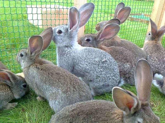 Связь между кормлением, состоянием здоровья и продуктивностью кроликов