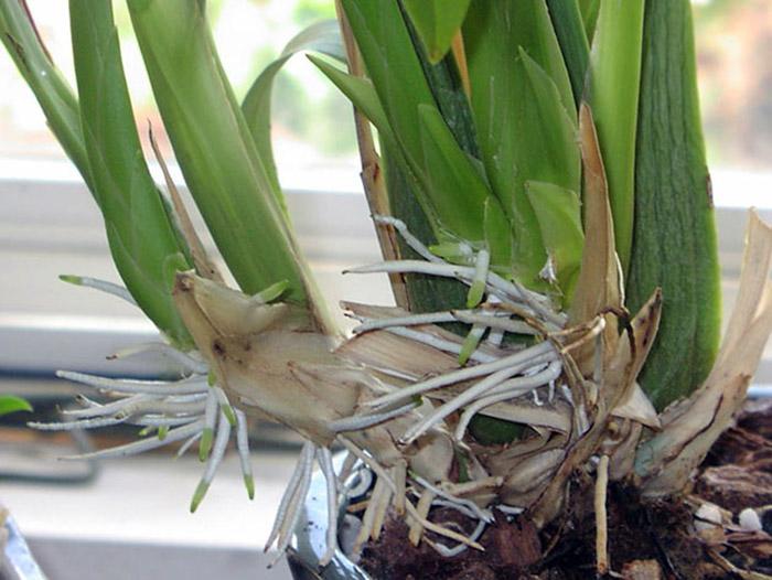 У орхидеи появились молодые корни