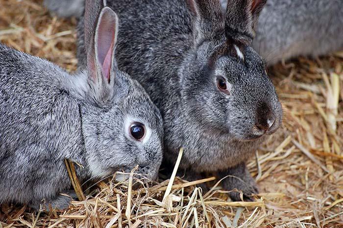 Убой и съемка шкурки кролика