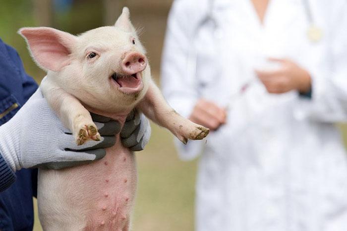 В Хабаровском крае завершается второй этап вакцинации свиней от ящура