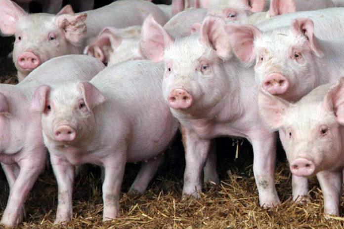 В Калининградской области восстановливают поголовье свиней после АЧС