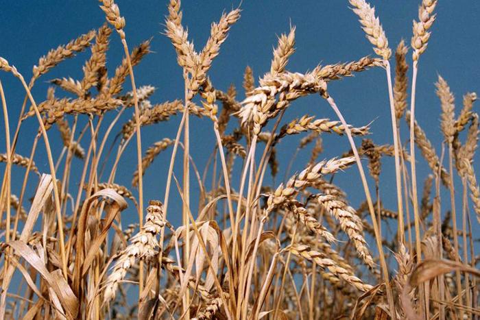 В Калужской области в 2019 году заработает комплекс глубокой переработки пшеницы