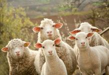 В Нижегородской области развивается овцеводство