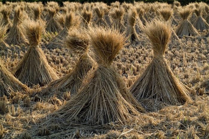 В Свердловской области падает качество зерна, считают в Россельхознадзоре