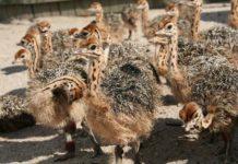 Выращивание молодняка страусов