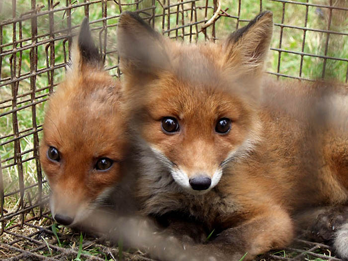 Выращивание подсосного молодняка лисицы