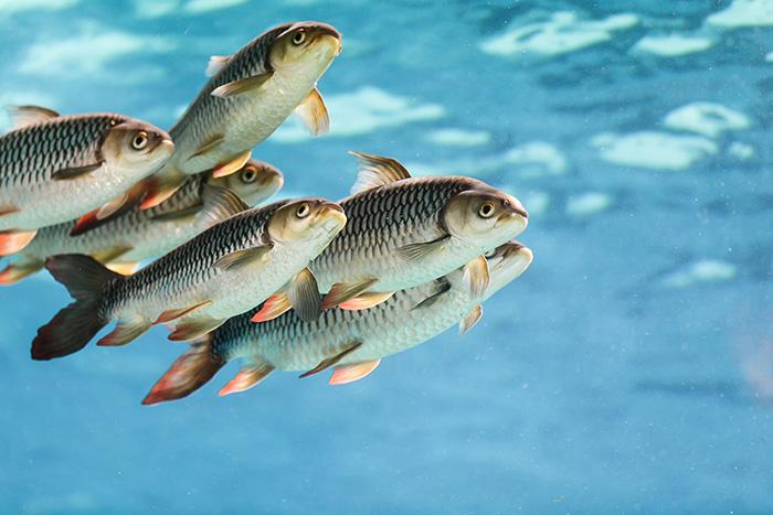 Зимовка рыбопосадочного материала
