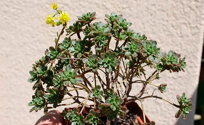Аихризон очитколистный (Aichryson sedifolium)