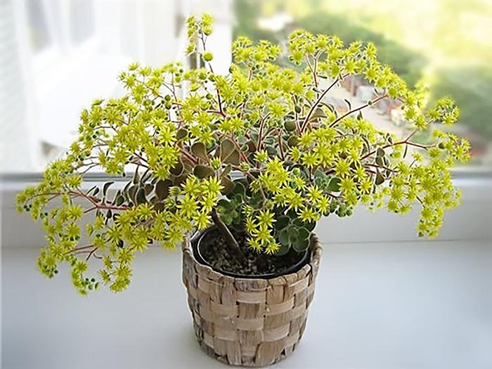 Аихризон рыхлый, либо распростертый (Aichryson laxum)