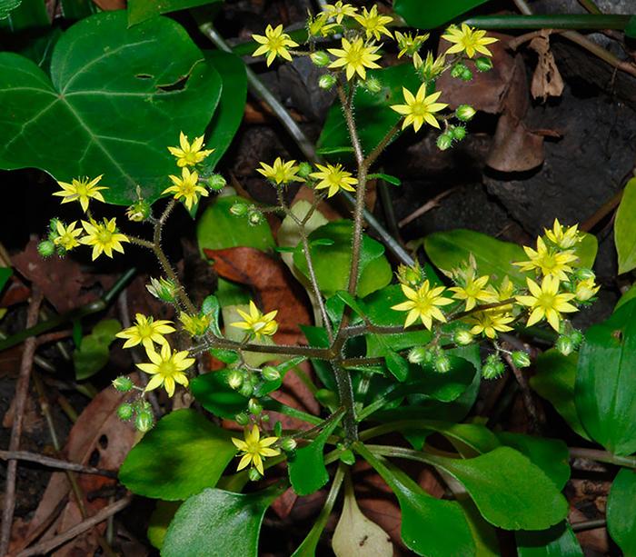 Аихризон точечный (Aichryson punctatum)