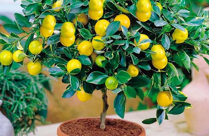 Апельсиновые и лимонные деревья