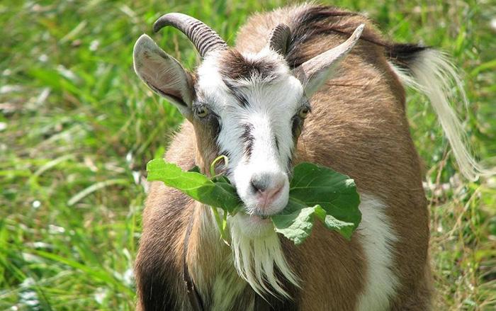 Биологические особенности коз