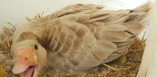 Болезни гусей и профилактика