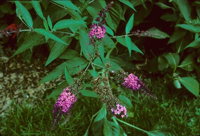 Будлея японская (Buddleja japonica)