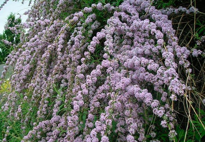 Будлея очереднолистная (Buddleja alternifolia)