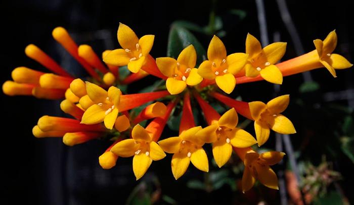 Бувардия желтая(Bouvardia flava)