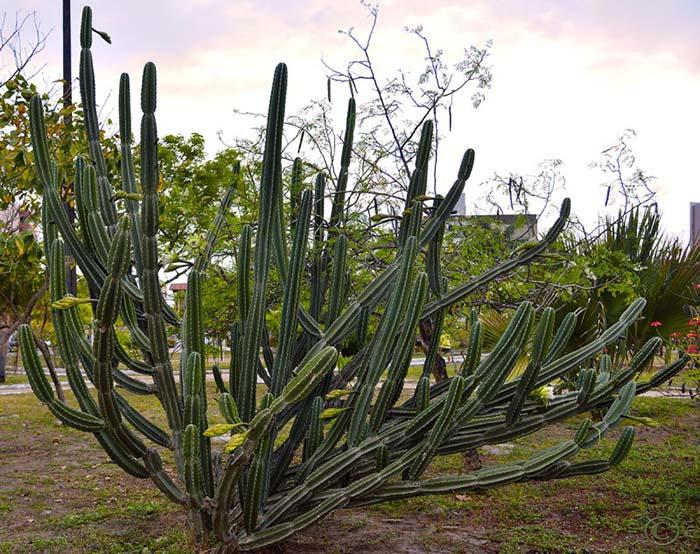 Цереус ямакару (Cereus jamacaru)