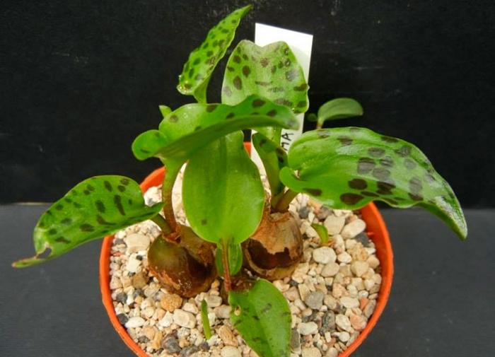 Дримиопсис пятнистый (Drimiopsis maculata)