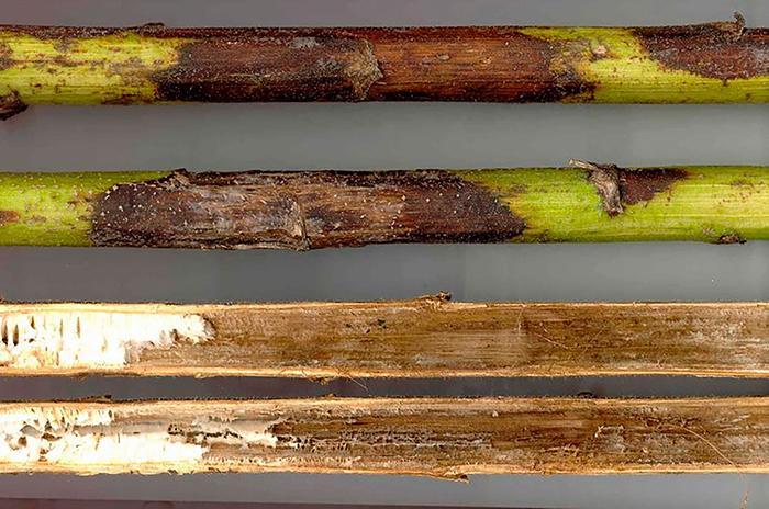 Фомоз стебля